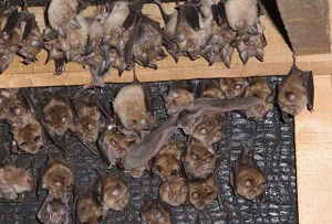 greater horseshoe bat barns