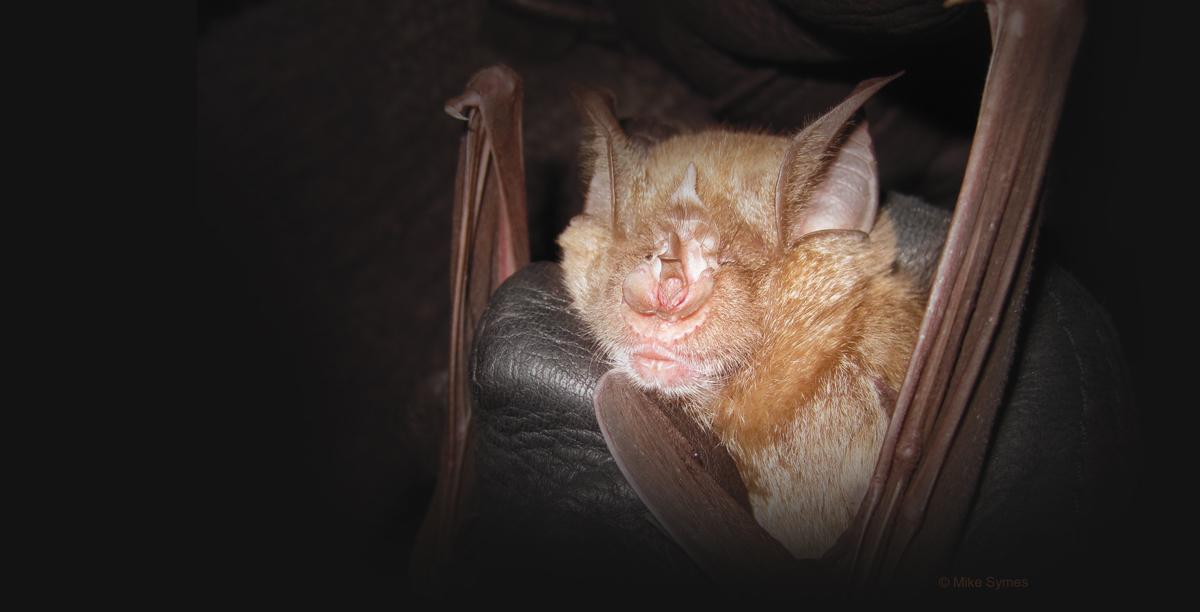 Horse Shoe Bat