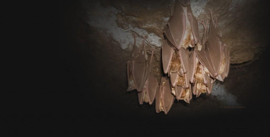 greater horseshoe bat colony