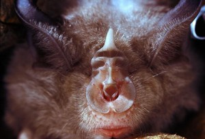 greater horseshoe bat nose