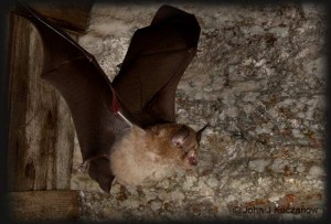 greater horseshoe bat wing