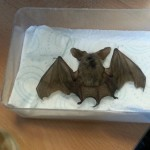 dried bat!