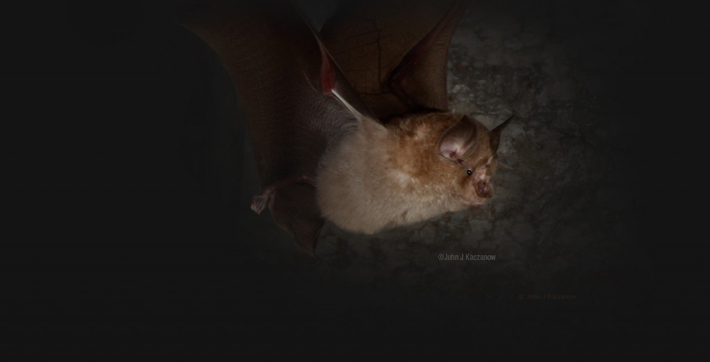 flying greater horseshoe bat