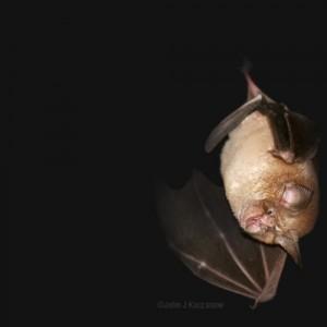 greater horseshoe bat flying