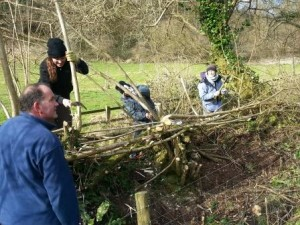 Hedgelaying at The Donkey Sanctuary