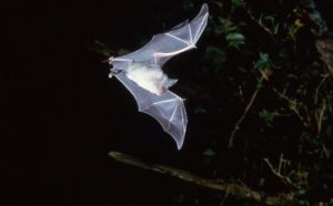 Photo of a greater horseshoe bat by Frank Greenaway