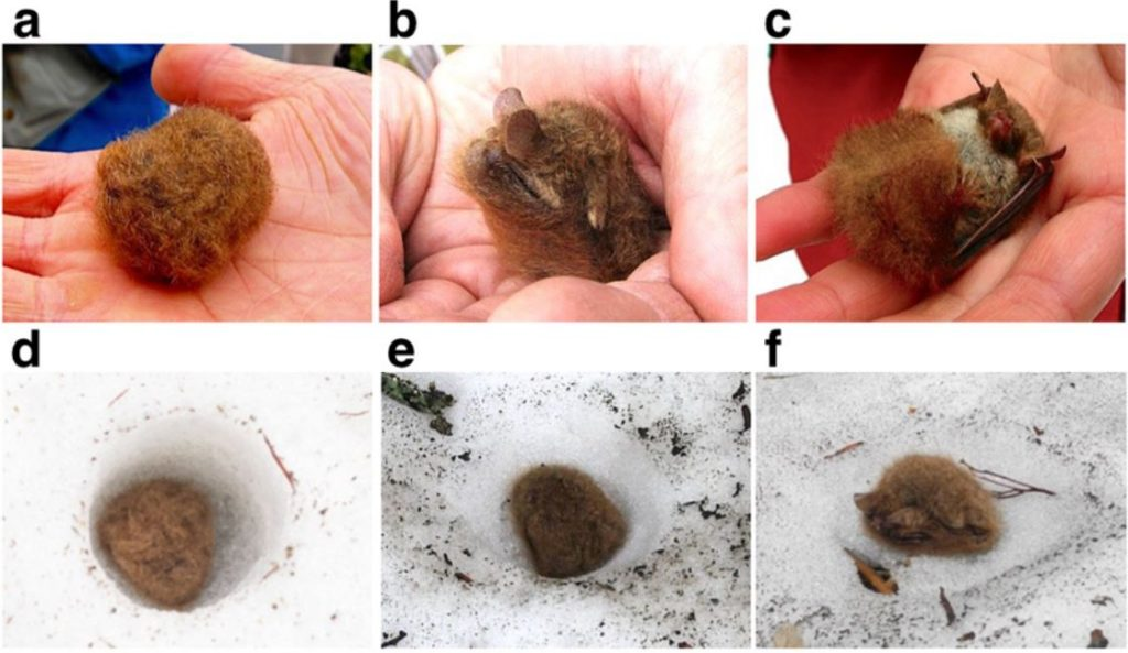Sequence of images of an Ussurian tube nosed bat curled up in someone's hand and in a snow cave
