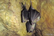 Greater Horseshoe Bats